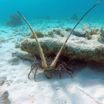 lobster, compass bonaire, cruise ship bonaire, AIDA, Royal Princess bonaire, snorkeling